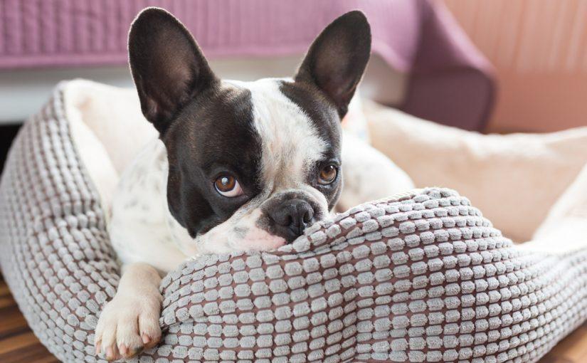 Cuánto vive un perro de raza bulldog