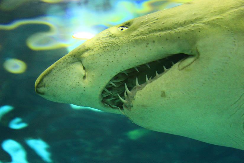 ¿Cuántas hileras de dientes tiene el tiburón blanco?