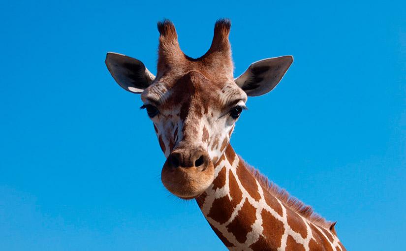 Cuánto mide el cuello de las jirafas
