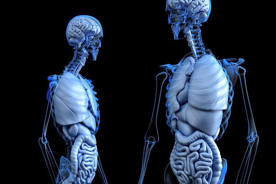 Cuántos órganos posee el cuerpo humano?