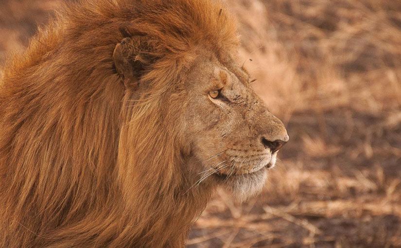 Cu nto tipos de leones hay cu ntas clases de leones for Cuantos tipos de arboles hay en el mundo