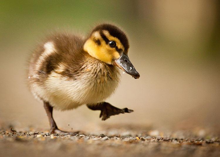 cuanto vive pato
